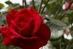 Rose close up Royalty Free Stock Photo