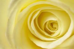 Rose Close Up branco-amarelada Foto de Stock