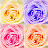 Rose close-up combo set Royalty Free Stock Photography
