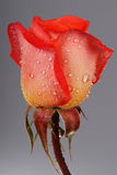 Rose close up with dew Stock Photo