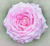 Rose close up with drops of dew. Close up of a pink rose with dew Royalty Free Stock Photos