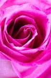 Rose close-up Royalty Free Stock Photos