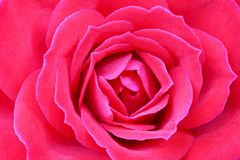 Rose close up. The invoice of a bud of a blossoming flower Stock Photography