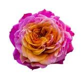 Rose close up  isolated on white background Stock Photography