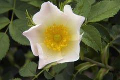 Rose close up Royalty Free Stock Image