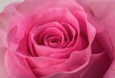 Rose close up Stock Photo