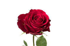 Rose Close Up Petals vermelha Fotografia de Stock