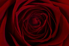 Rose. A close up photo of a red rose Royalty Free Stock Image
