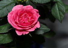 Rose close up with raindrops. Valenties day Stock Photos