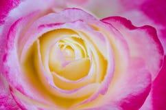 Rose Close-up Shot Stock Photos