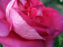 Rose. Closely photographed adorable pink rose royalty free stock images