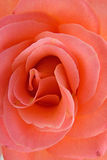 Rose in closeup Stock Photos