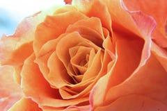 Rose closeup Stock Photo