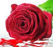Rose closeup Stock Image