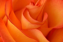 Rose closeup. Beautiful rose as a background close-up Stock Image