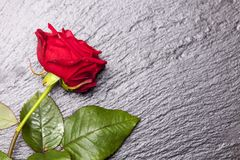 Rose. Closeup of a beautiful red rose Stock Image