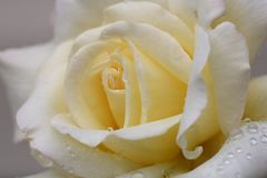 Rose Closeup with Droplets. Close up of cream colored rose with droplets on petals Stock Photo