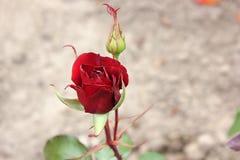 Rose closeup in the garden stock photos