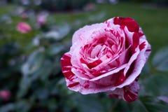 Rose Closeup manchada Imagem de Stock Royalty Free