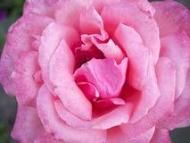 Rose closeup Royalty Free Stock Photos
