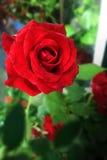 Rose. Closeup of red rose Royalty Free Stock Photos