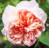Closeup of traditional Apricot English rose surrou Stock Photo