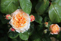 Closeup of traditional Apricot English rose surrou Stock Image