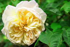 Closeup of traditional Yellow English rose surroun Stock Images