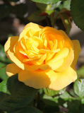 Closeup of traditional Yellow English rose surroun Stock Photo