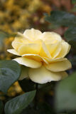 Closeup of traditional Yellow English rose surroun Royalty Free Stock Photo