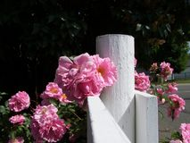 Rose cluster at the fence post Royalty Free Stock Images