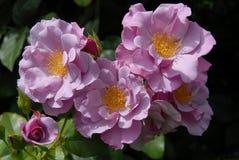 Rose Cluster splendida fotografie stock libere da diritti