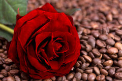 Rose on coffee beans Stock Photography