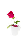 Rose in coffee cup isolate with clipping path Royalty Free Stock Image