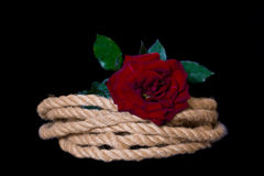 Rose on coiled rope Stock Image