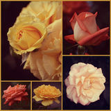 Rose Collage Stock Photo