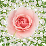 Rose collage on white Stock Images