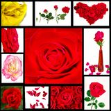 Rose collection Royalty Free Stock Photo