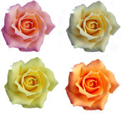 Rose Collection. Collection of Colored Soap Roses Royalty Free Stock Photos
