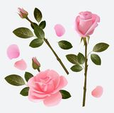 Rose collection. Beautiful plant pink and red bud rose love symbol vector picture collection royalty free illustration