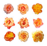 Rose collection, English roses Royalty Free Stock Photography