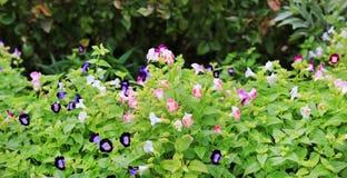 Rose coloré et fleurs pourpres de fournieri de Wishbone Torenia fleurissant dans le jardin images stock
