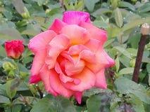 Rose colorée Images libres de droits