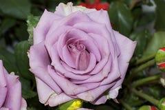 Rose colorée Images stock