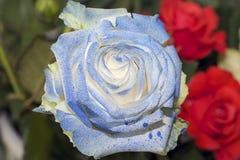 Rose colorée Photo libre de droits
