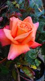 Rose colorée beau par corail images libres de droits