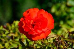 Rose colorée dans le plein boom Image stock