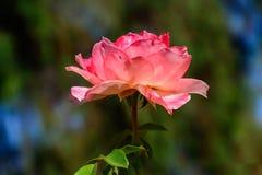 Rose colorée dans le plein boom Image libre de droits