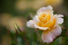 Rose colorée par abricot Photos libres de droits