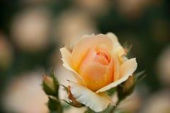 Rose colorée par abricot Image libre de droits